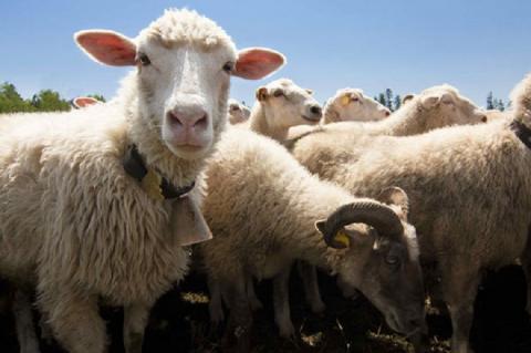 Химеру овцы и человека создали американские ученые