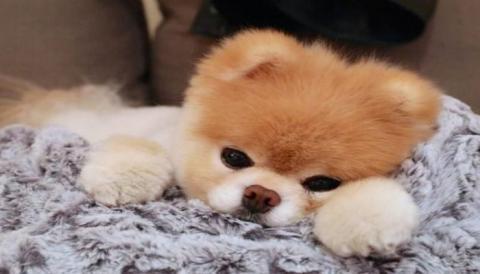 """""""Самый милый пёс"""" в мире ушёл по радуге"""