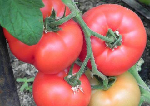 Чем удобрить помидоры, чтобы они быстрее краснели и созревали: три действенных подкормки