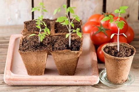 Когда сажать помидоры в 2019 году по лунному календарю: самые благоприятные даты в марте и апреле, оригинальный способ выращивания рассады в бутылке