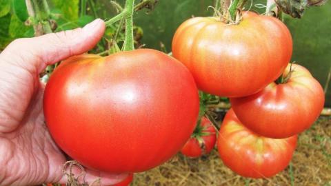 Народные подкормки для помидоров в открытом грунте: пять лучших способов получить рекордный урожай