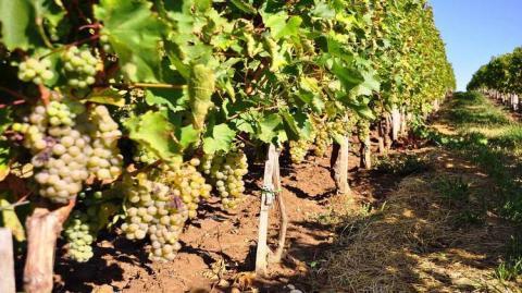 На «Цимлянских винах» пропадают сотни гектаров винограда