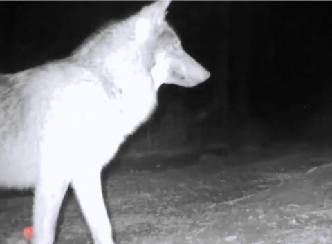 Дикий волк попался в фотоловушку и укусил ее