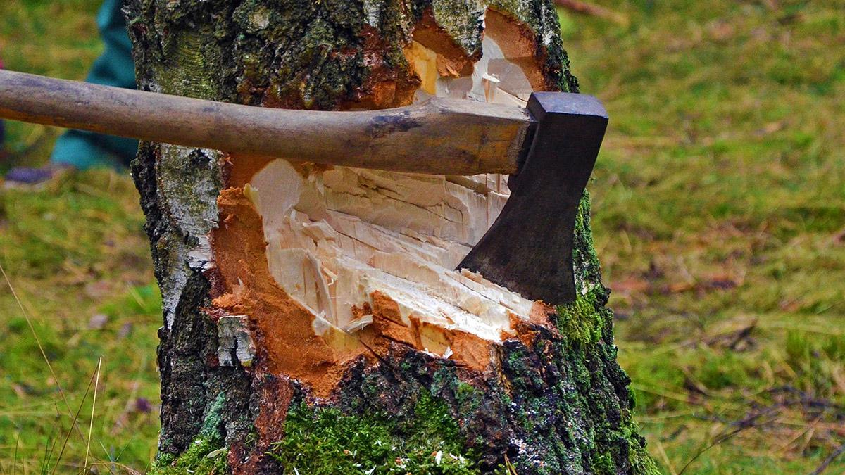 В Крыму прокуратура выявила незаконную вырубку деревьев