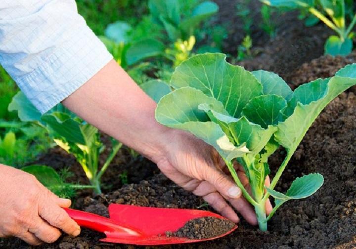Когда сажать капусту в открытый грунт в 2019 году
