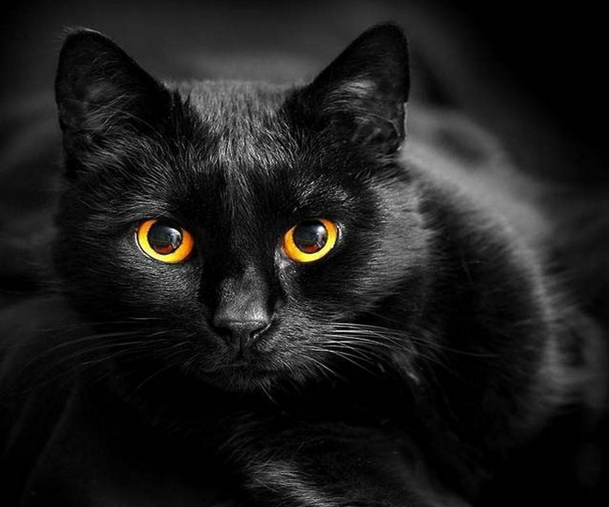 Породы таинственных чёрных кошек: их угольный окрас считается оберегом, фото