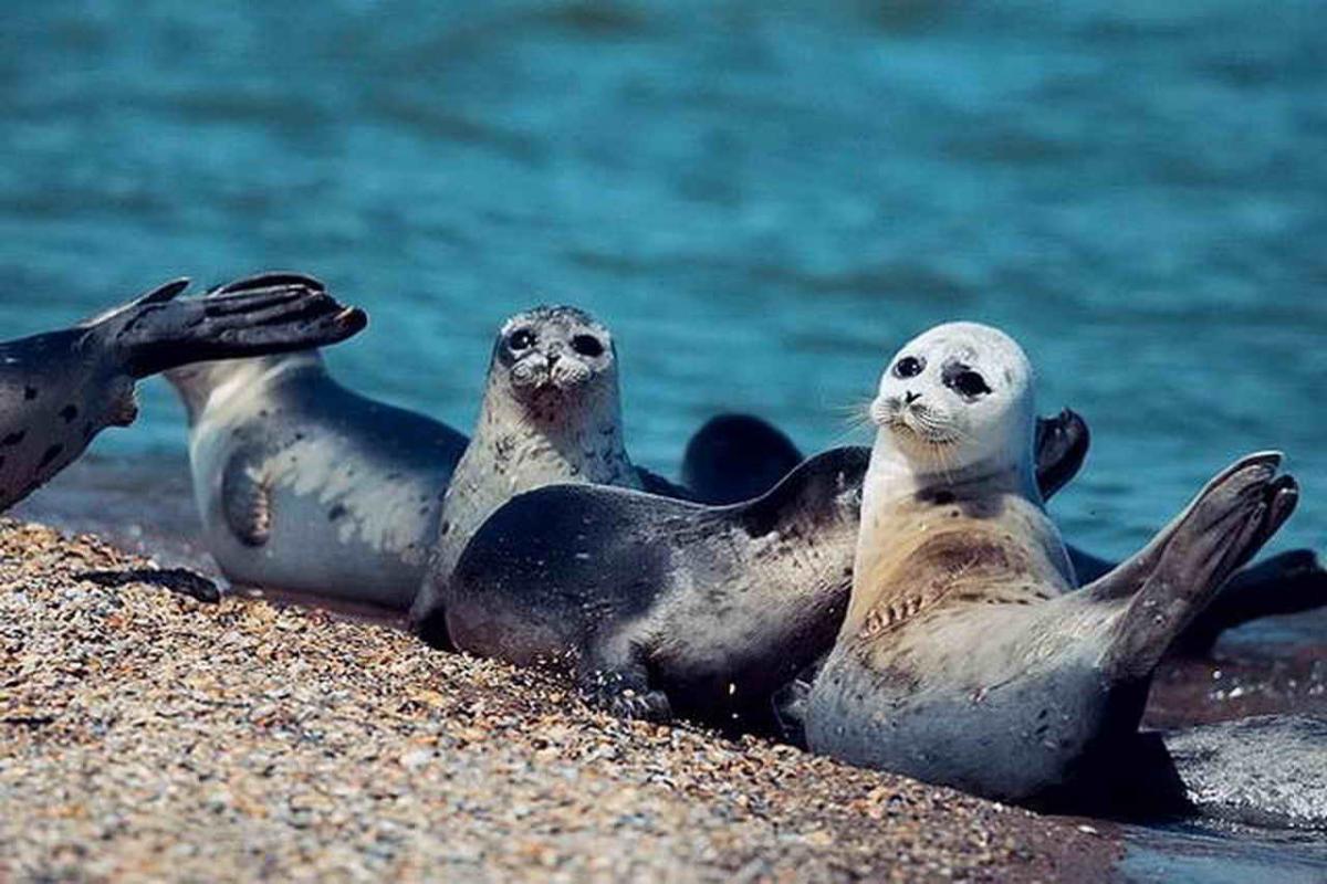 В Дагестане обнаружены более 150 погибших редких тюленей