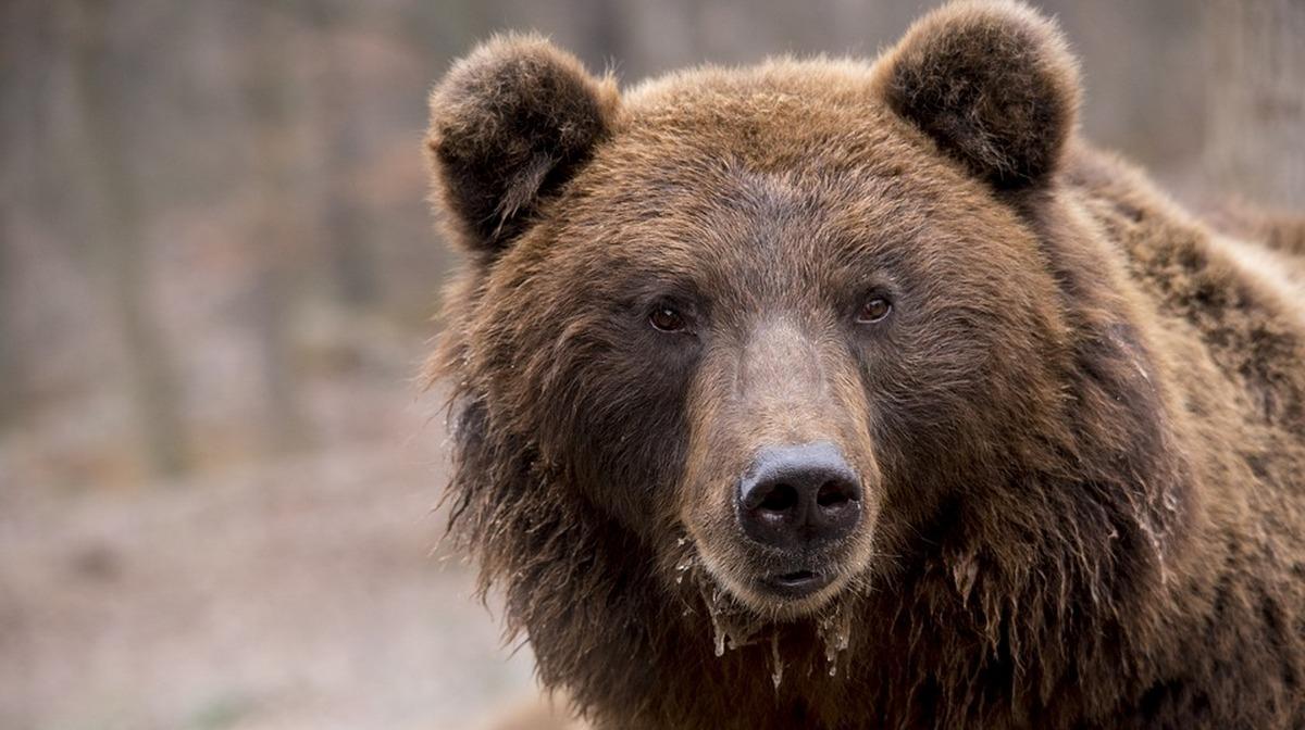 Женщину, растерзанную медведем, нашли в Забайкалье