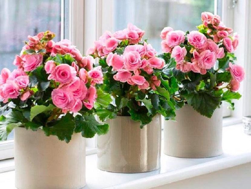 Комнатные цветы, обладающие магической силой, они защищают человека от бед и несчастий