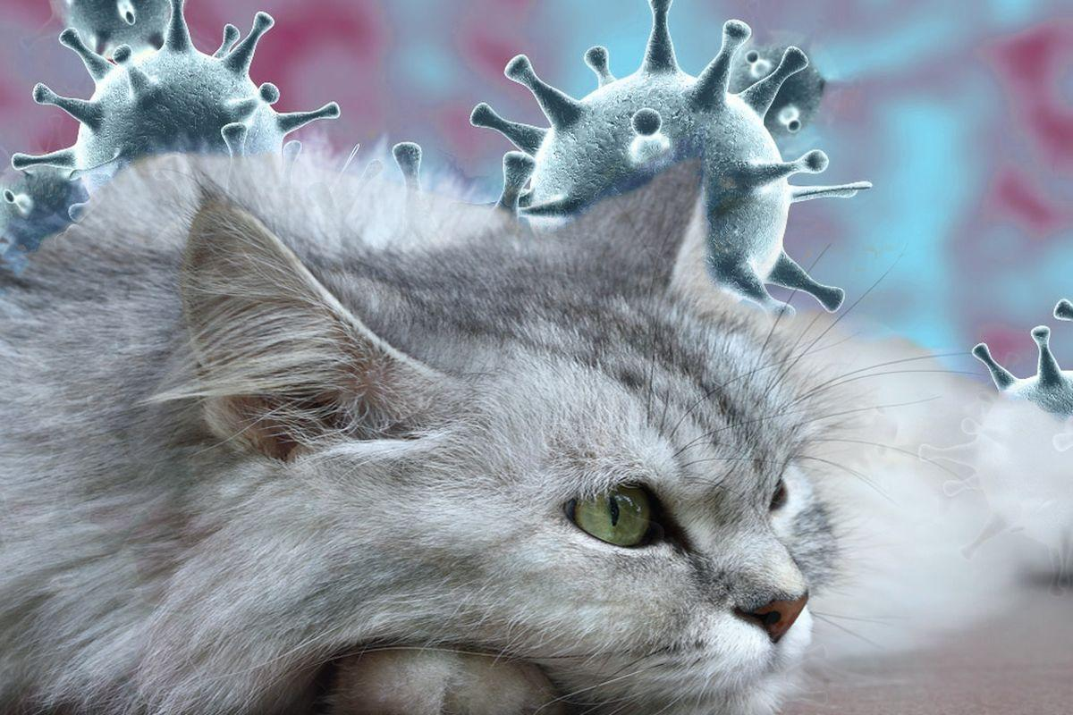 коронавирус у кошек картинки