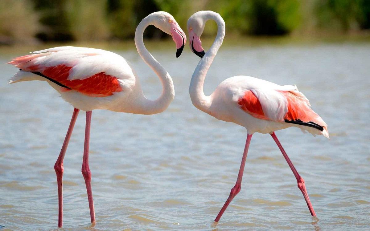 В Севастополь впервые прилетели розовые фламинго