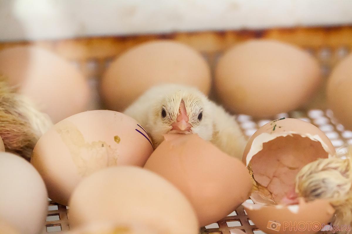 Инкубация куриных яиц в инкубаторе - простые советыдля любителей