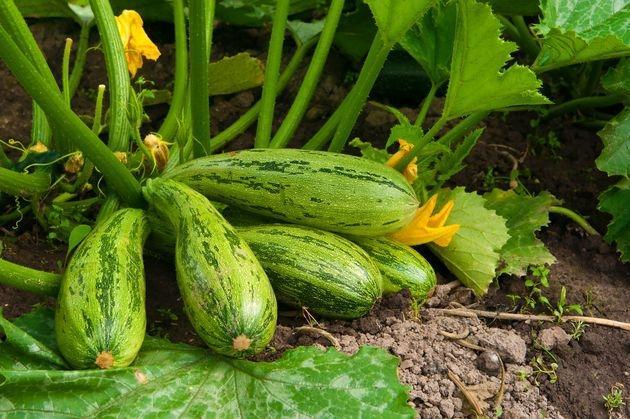 Секреты получения богатого урожая кабачков: пошаговая инструкция с момента высадки в открытый грунт