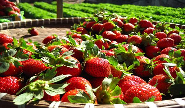 Рецепт выращивания клубники: чтобы собрать богатый урожай несколько раз