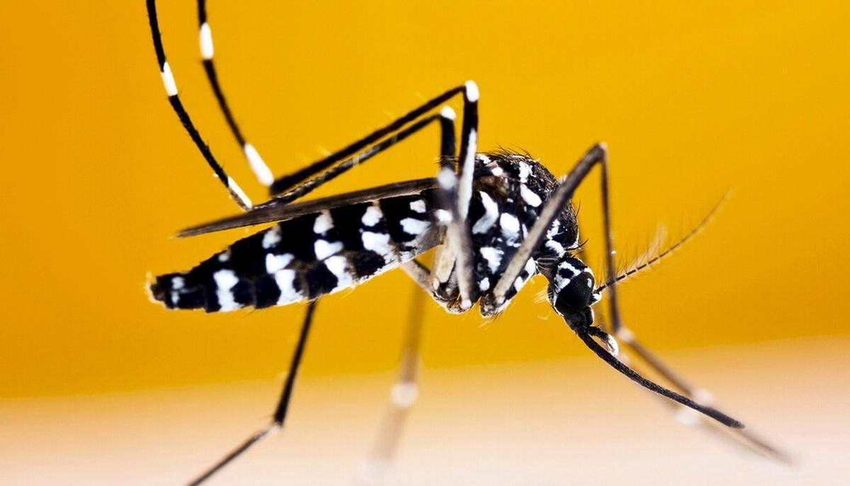 Комар-тигр