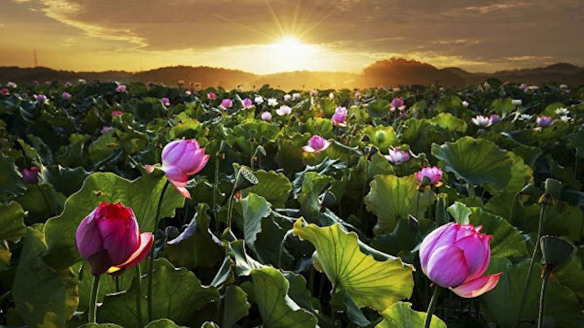 Цветение лотоса Астрахань