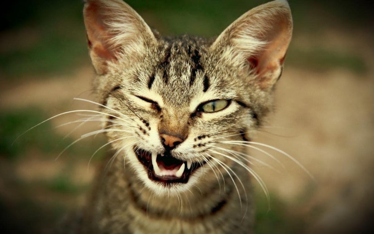 кошка, мимика, эмоции
