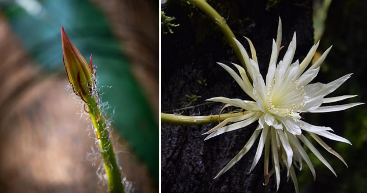 В Британии на одну ночь зацветет редкий кактус с запахом духов