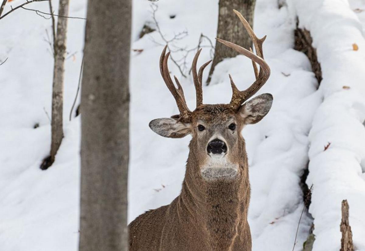 В США обнаружили уникального трехрогого оленя