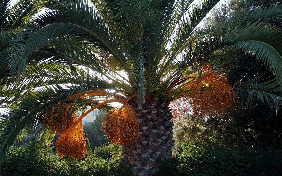 семена финиковой пальмы