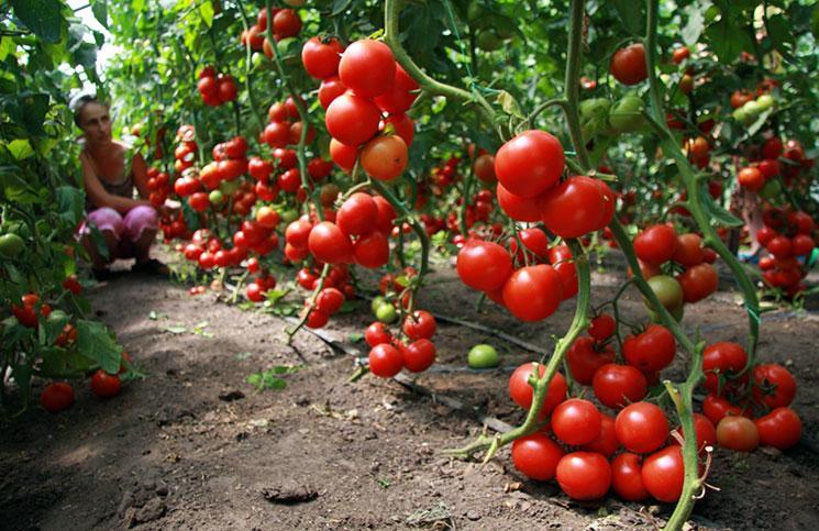 Помидоры в теплице: посадка в теплицу из поликарбоната, когда высаживать и расстояние для рекордного урожая