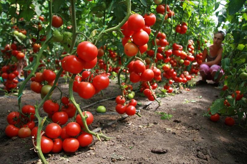 Подкормка помидоров в июне для богатого урожая с каждого куста