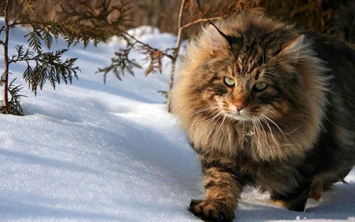 вывешиваем фото лесная сибирская кошка фото начале расследования