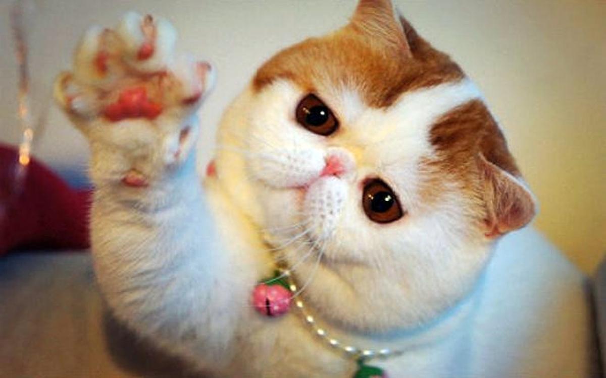 Экзотическая кошка: порода кошек невероятной красоты, питомцы находятся в списке самых популярных в мире, фото