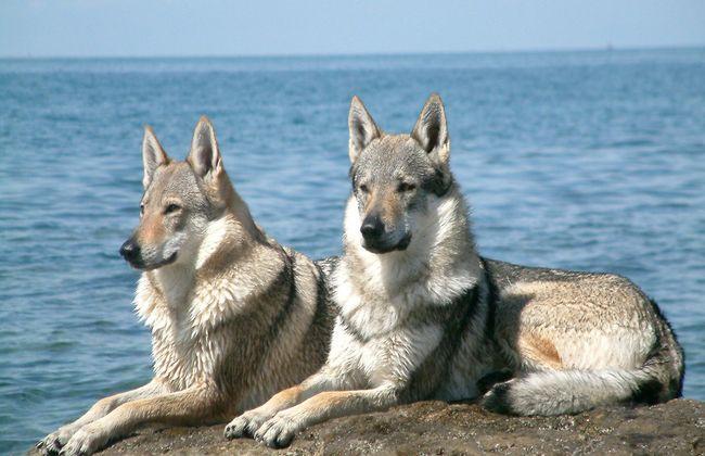 ТОП гибридных пород собак, которые считаются вольфхундами