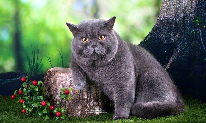 Самые злые питомцы: рейтинг пяти агрессивных пород кошек