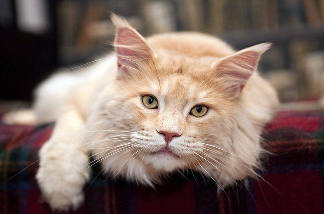 ТОП-10 самых милых и ласковых пород кошек, фото