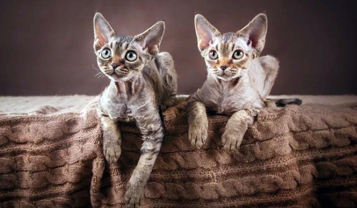 Породы кошек, которые не линяют: они идеальные питомцы для содержания в квартире