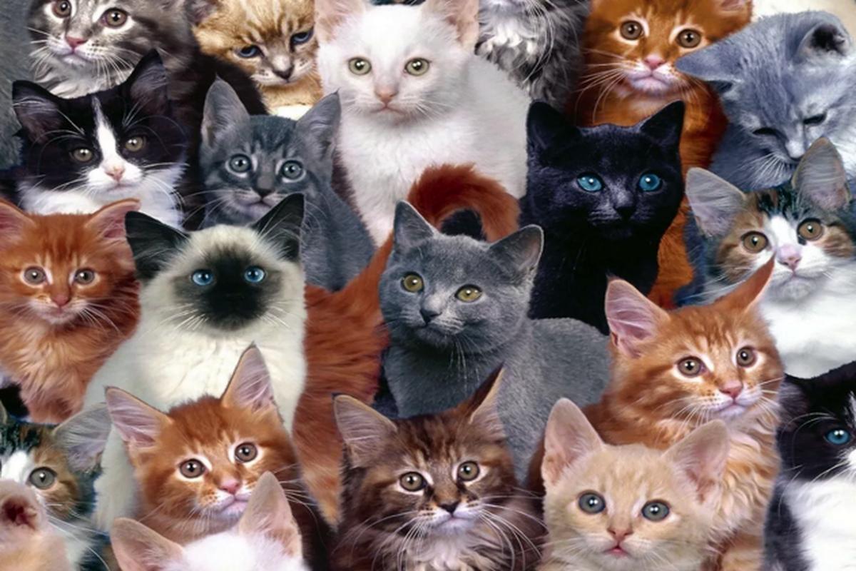 """Самые здоровые породы кошек: такие питомцы — это мечта каждого """"кошатника"""""""