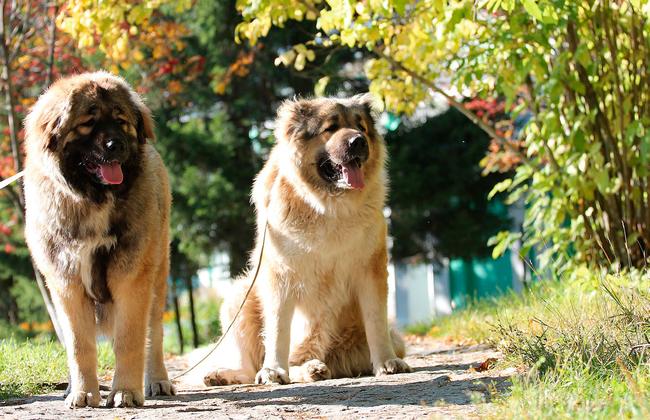 Главный кинолог России назвал самые лучшие породы собак-охранников