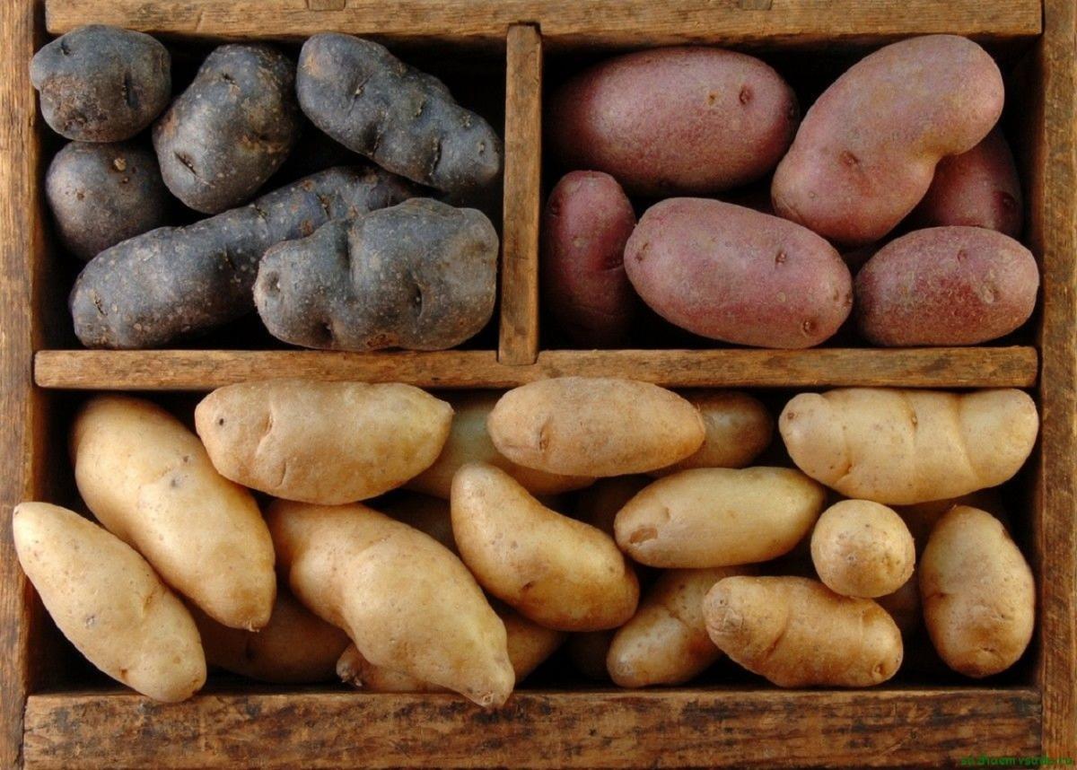 Как сохранить собранный картофель на зиму: тонкости долгого хранения урожая