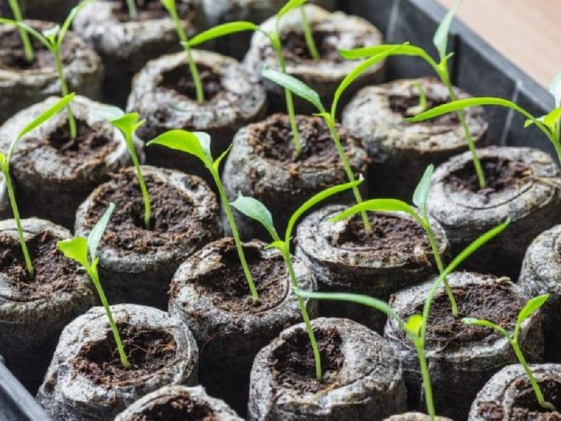 Рассада огурцов вытянулась: что делать, как спасти урожай