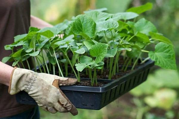 Рассада огурцов: чего категорически делать нельзя, чтобы не потерять урожай