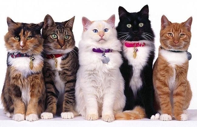 Рейтинг самых красивых пород кошек в мире: фото и видео