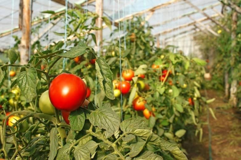 Распространенные ошибки при выращивании помидоров в теплице, которые губят урожай