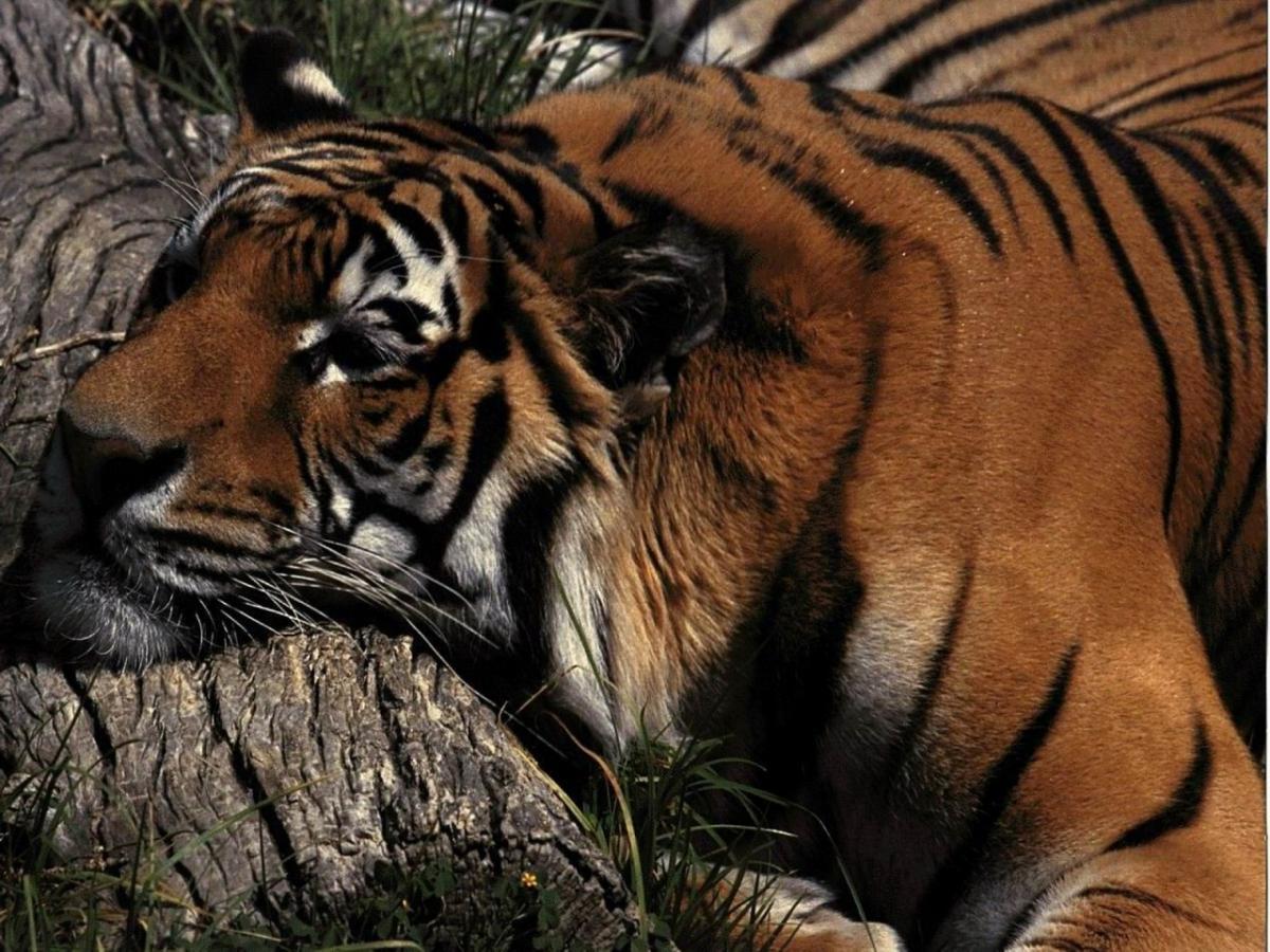 Тигр болен