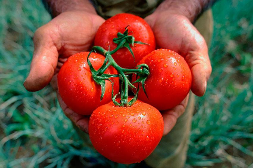 Листья помидоров желтеют и скручиваются: что делать, чтобы не потерять урожай