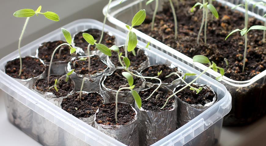 Подкормка для вялой рассады: чудо-средство для всех овощей, цветов и клубники