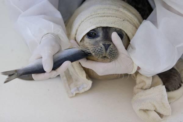 На Сахалине умер детеныш тюленя избитый детьми