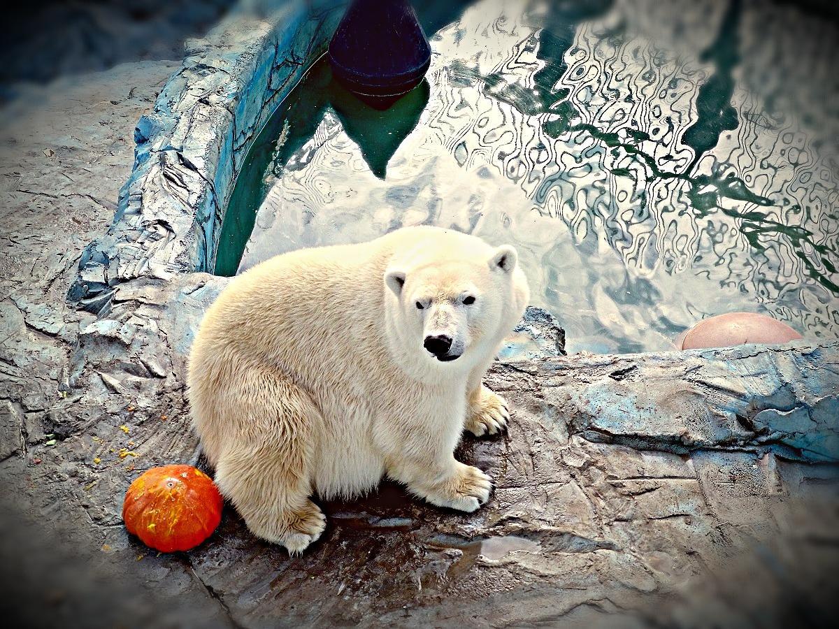 белый медведь, Умка, зоопарк