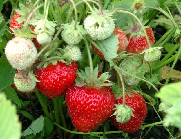 В Волгоградской области дачники изумляются октябрьскому урожаю клубники