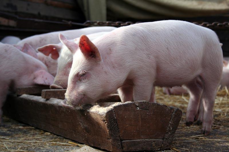 Свинина «но пасаран»: Россия ввела запрет на ввоз свиноводческой продукции из Белоруссии
