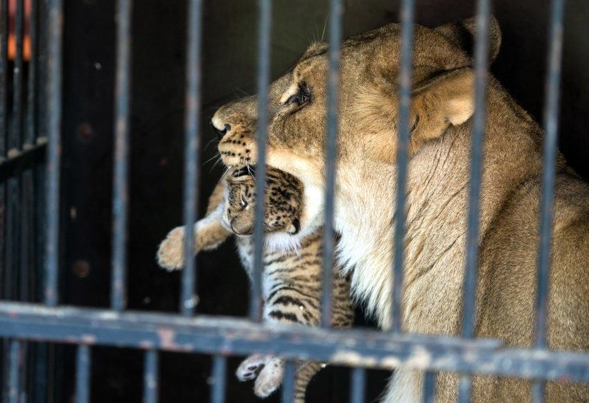 Редкое животное - тигрольвица родилась в России впервые