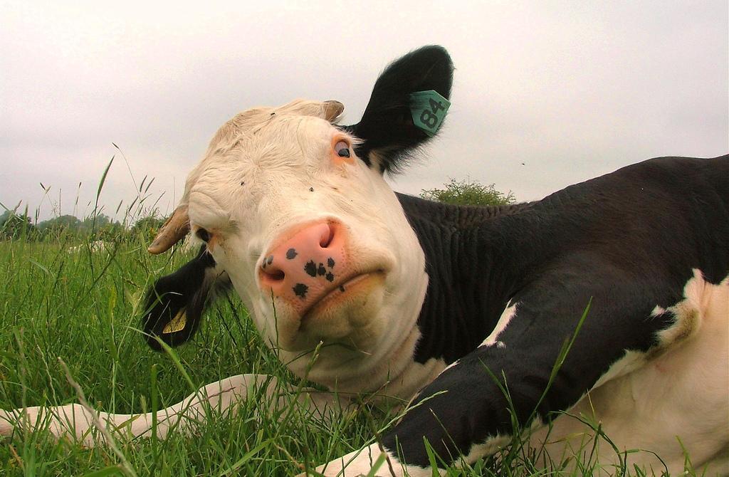 В Астраханской области коровы съели поле с уникальными арбузами