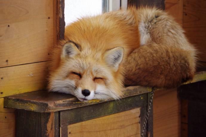 В Астрахани лисица пришла в магазин за продуктами