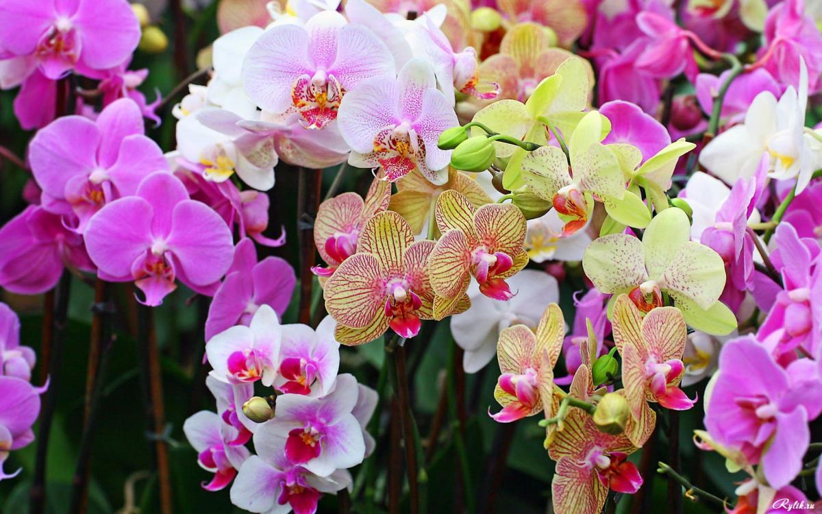 В клубнях орхидей найдены противораковые вещества